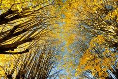 椴树秋天颜色 免版税库存照片