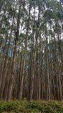树种植园在塔斯马尼亚岛,澳大利亚 库存照片