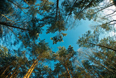 树积雪的上面  免版税库存照片