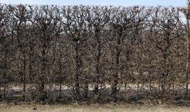 树篱在春天 库存照片
