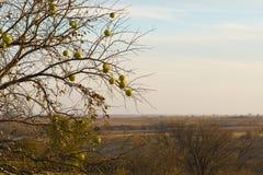 树篱树- Maclura pomifera 免版税图库摄影