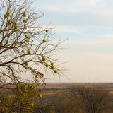 树篱树- Maclura pomifera 图库摄影