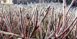 冻树篱的红色枝杈特写镜头照片在冬天 免版税库存图片