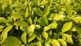 树篱绿色植物,自然纹理,微小的绿色叶子在庭院里 免版税库存图片
