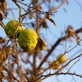 树篱苹果- Maclura pomifera 图库摄影