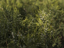树篱细节 图库摄影