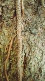 树纹理 免版税库存图片