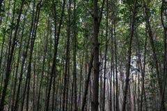 树线在美洲红树森林里 免版税库存照片