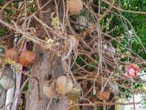 树绽放美丽的炮弹花在公园 免版税库存照片