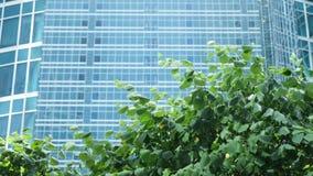 树绿色叶子在风摇摆以玻璃商业中心为背景 股票视频