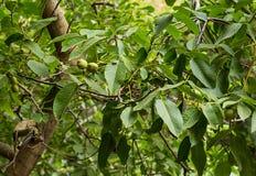 树绿色核桃未成熟与长的叶子在阳光下 库存图片