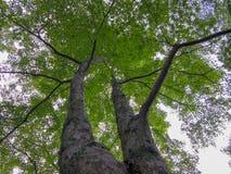 树绿色肢体  免版税库存照片