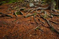 树网在一条供徒步旅行的小道旁边根源生长在岩石 一张长木凳和桌在背景中 免版税库存图片