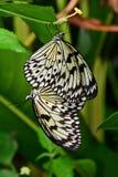 树联接在庭院里的若虫蝴蝶 免版税库存图片