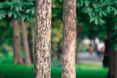 树背景在泰国的公园 库存图片