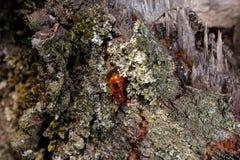 树自然琥珀色的树脂细节关闭 图库摄影