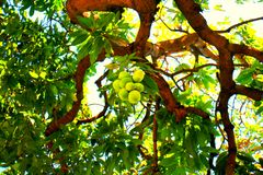 树芒果 库存照片