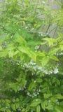 树花whiteflower背景自然 免版税图库摄影