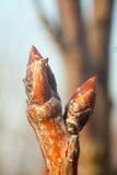 树芽活跃起来和胀大的树 免版税库存照片