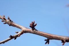 树芽活跃起来和胀大的树 图库摄影