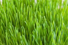 树苗树,软质小麦 免版税库存照片