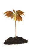 树苗结构树 免版税图库摄影