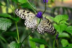 树若虫蝴蝶在他们的桌上在庭院里 图库摄影