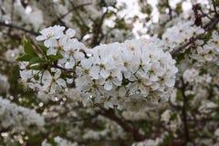 树苹果特写镜头视图进展与日落 库存照片