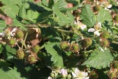 黑树莓 库存图片