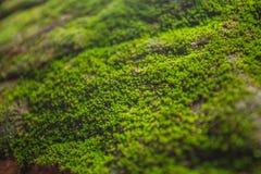 树蕨和青苔在岩石 关闭,泰国 图库摄影