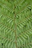 树蕨详细资料 库存照片