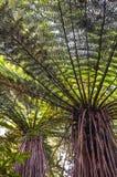 树蕨,糠秕状的Dicksonia,新西兰 免版税库存照片