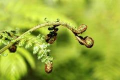 树蕨 免版税库存图片