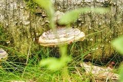 树蘑菇关闭 免版税库存图片