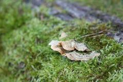 树蘑菇 免版税图库摄影