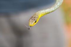树蛇,新南威尔斯,澳大利亚 库存照片