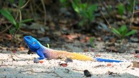 树蜥蜴- acanthocerus atricollis 免版税库存图片