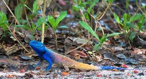 树蜥蜴- acanthocerus atricollis 图库摄影