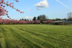 树行有桃红色花在一个绿色领域 库存照片