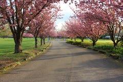 树行有桃红色花在一个绿色领域 免版税图库摄影