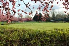 树行有桃红色花在一个绿色领域 库存图片