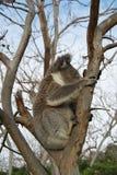 树袋熊 免版税图库摄影
