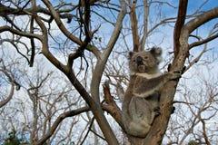 树袋熊 库存图片