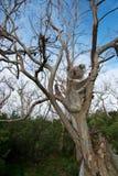 树袋熊 免版税库存图片