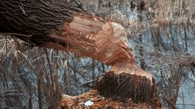 海狸砍的树 树被咬  建造水坝的海狸在春季的一条河 股票视频
