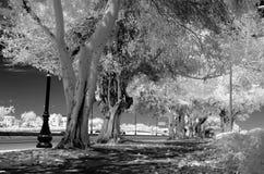 树被排行的街道的黑白图象 免版税库存图片
