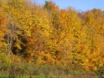 树被盖秋天股票照片金黄和橙色叶子  库存图片
