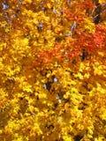 树被盖金黄,桔子和秋天股票照片红色叶子  免版税库存图片