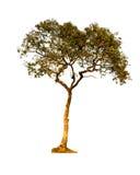 树被隔绝反对白色背景 免版税库存照片