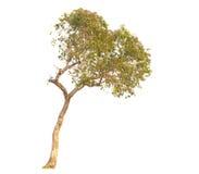 树被隔绝反对白色背景 图库摄影